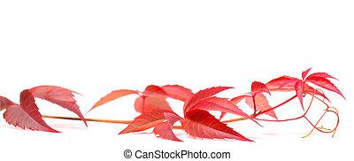 αναρριχητικό φυτό , άσπρο , φθινοπωρινός , βιργινία