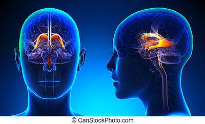 ανατομία , εγκέφαλοs , γυναίκα , venctricles