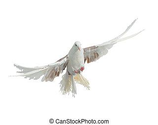 ανατρέφω , παγώνι , ιπτάμενος , περιστέρα , πουλί