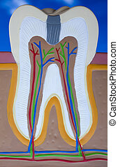 ανθρώπινος , δόντι , δομή