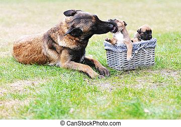 ανόητος , σκύλοs