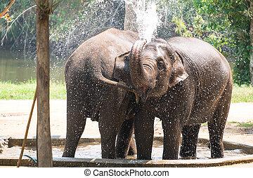 απολαμβάνω , δυο , νερό , βουτιά , βρέφος , ελέφαντας , παίξιμο