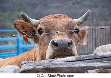 απομυζώ αγελάδα