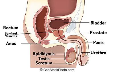 αρσενικό , σύστημα , αναπαραγωγή