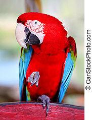 αστείος , γκρο πλαν , παπαγάλος , μεγάλος , φωτογραφία , κόκκινο