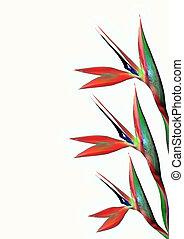 αστραφτερά μπογιά , πουλί από επίγειος παράδεισος , λουλούδι