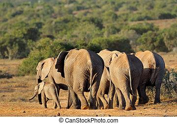 αφρικάνικος ελέφαντας , αγέλη