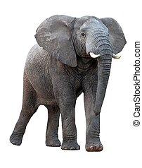 αφρικανός , - , απομονωμένος , ελέφαντας