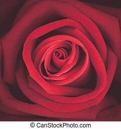 αόρ. του shoot , κρασί , πάνω , τριαντάφυλλο , macro , κλείνω , τονίζομαι , κόκκινο