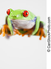 βάτραχος , - , μικρό , ζώο , αριστερός άποψη