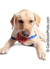 βάφω κίτρινο σκυλί ράτσας λαμπραντόρ θηραματοφόρος κυνηγετικός σκύλος