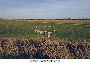 βοσκότοπος , sheeps, texel