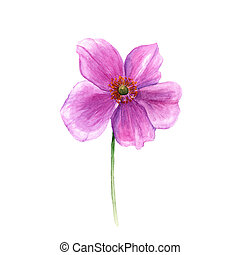 βοτανική , λουλούδι , flower., απομονωμένος , ανεμώνη , χέρι , νερομπογιά , φόντο. , μονό , εικόνα , μετοχή του draw , άσπρο