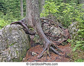 βράχοs , dolomite, δέντρο , αόρ. του stick , ρίζα