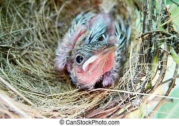 βρέφος πουλί , μέσα , φωλιά