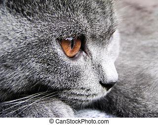 βρεταννίδα , γάτα