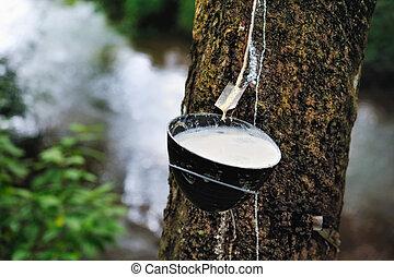 γάλα , λαστιχένιο δέντρο
