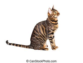 γάτα , ανατρέφω , toyger