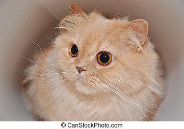 γάτα , γκρο πλαν , πέρσης