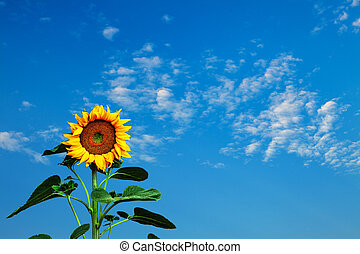 γαλάζιος ουρανός , ηλιοτρόπιο , εναντίον