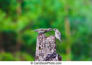 γαλάζιο αιγίθαλος , δημοκοπώ , πουλί , κάθονται