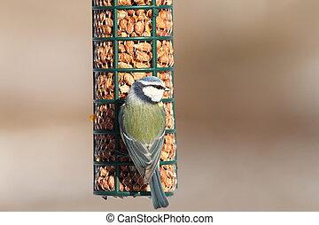 γαλάζιο αιγίθαλος , πουλί γραμμή τροφοδοσίας