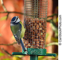 γαλάζιο αιγίθαλος , πουλί