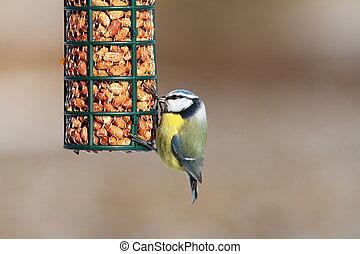 γαλάζιο αιγίθαλος , πουλί , κήπος , τροφοδότης