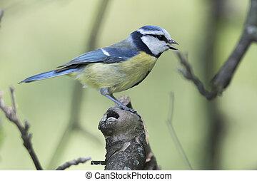 γαλάζιο αιγίθαλος , cinciarella, δέντρο , πουλί
