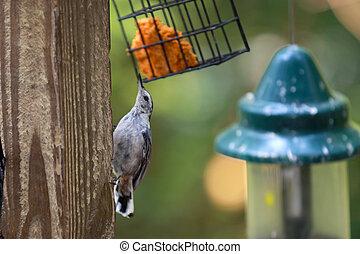 γαλάζιο πουλί , κίσσα