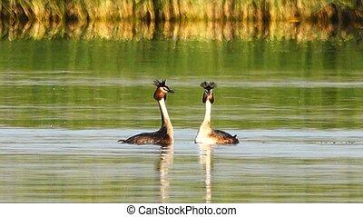 γαμήλιος , χορεύω , πουλί , σπουδαίος , ακρολογία , κολύμβις...