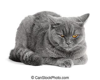γατούλα , σκωτσέζικο
