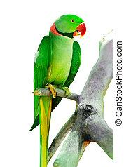 γεμάτος χρώμα , παπαγάλος , πουλί , κάθονται , επάνω , ο , επικάθημαι
