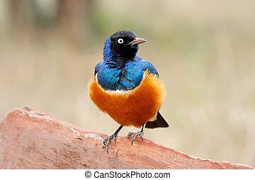 γεμάτος χρώμα πουλί , superb