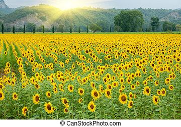 γεωργία , ηλιοτρόπιο