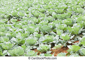 γεωργία , λάχανο