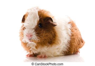 γκινέα , άσπρο , απομονωμένος , γουρούνι