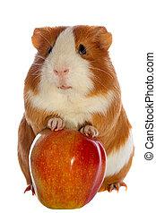 γκινέα , απομονωμένος , μήλο , o , κόκκινο , γουρούνι