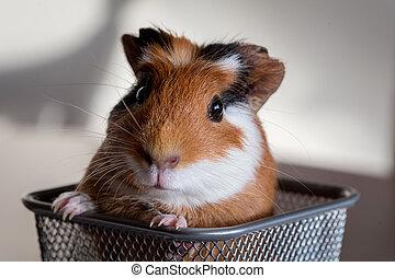 γκινέα , porcellus), (cavia, γουρούνι