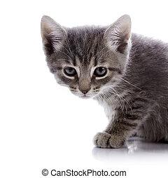 γκρί , θυμωμένος , kitten., πορτραίτο