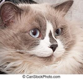 γκρο πλαν , ανατρέφω , γάτα , ragdoll , ζεσεεδ