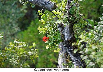 γκρο πλαν , ohi'a, αγχόνη βγάζω κλαδιά , λουλούδια , ακμάζω , κόκκινο