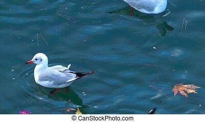γλάρος , πουλί