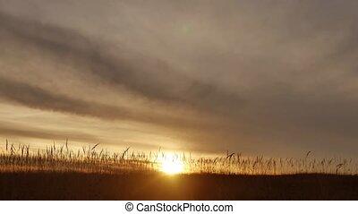γρασίδι , απεικονίζω σε σιλουέτα , φόντο , με , ήλιοs , set.