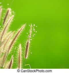 γρασίδι , λουλούδι