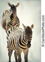 δάσοs , zebra