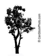 δέντρο , άσπρο , περίγραμμα , απομονωμένος , φόντο
