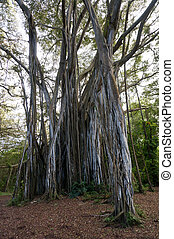 δέντρο , ινδοσύκη , γριά , αναδενδράδα