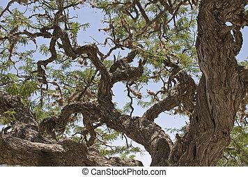 δέντρο , κυπαρίσσι , γριά , βγάζω κλαδιά