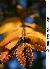 δέντρο , στάχτη , φύλλο